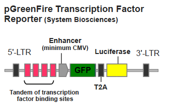 pGreenFire Transcription